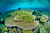 The strong currents in the Misool area create perfect conditions for filter feeders such as soft corals, sea fans and sponges and in most areas, the rocky substrate is literally carpeted in life.  In more sheltered areas, delicate hard corals also proliferate. The reefs of Raja Ampat are some of the most diverse and healthiest in the world.