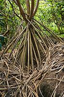 The props roots of a Hala tree, Screwpine, or Pandanus tectorius