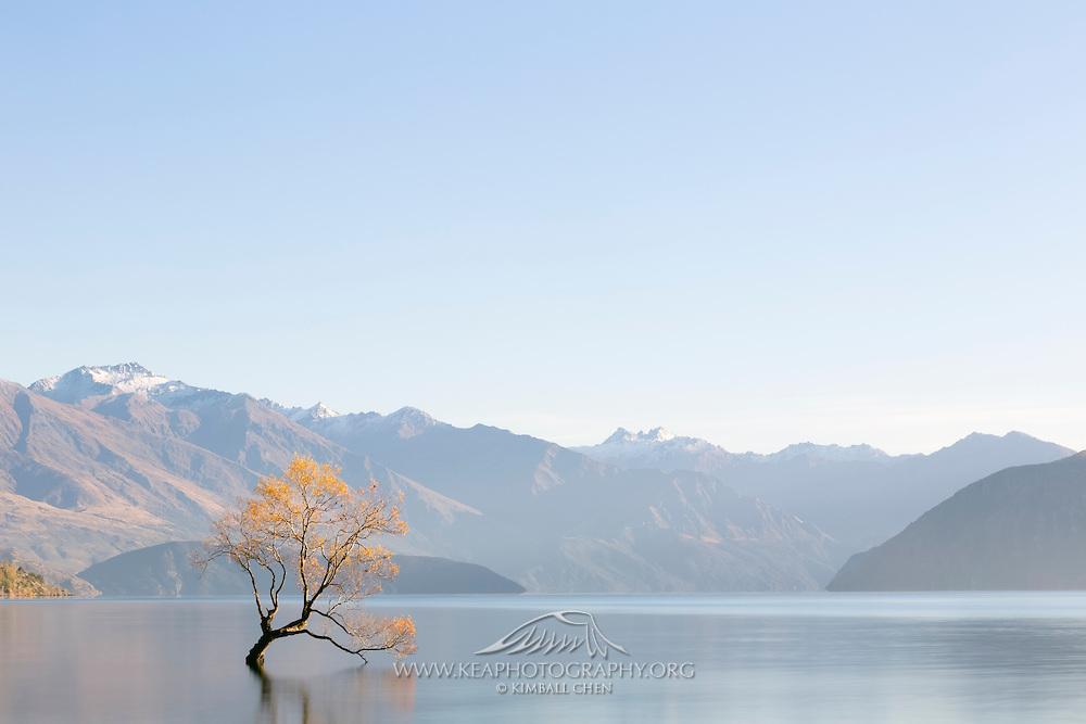 Golden Willow Tree and blue skies at Lake Wakatipu