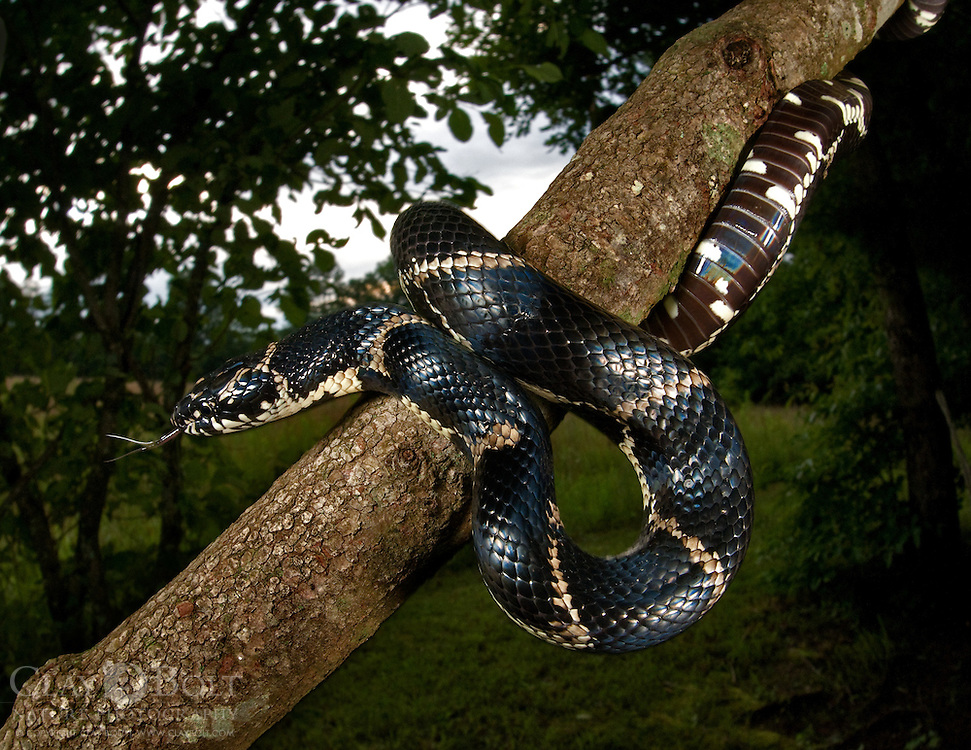 Eastern King Snake (Lampropeltis getula). Pickens, South Carolina.