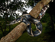 Eastern King Snake (Lampropeltis getula). Pickens, South Carolina.