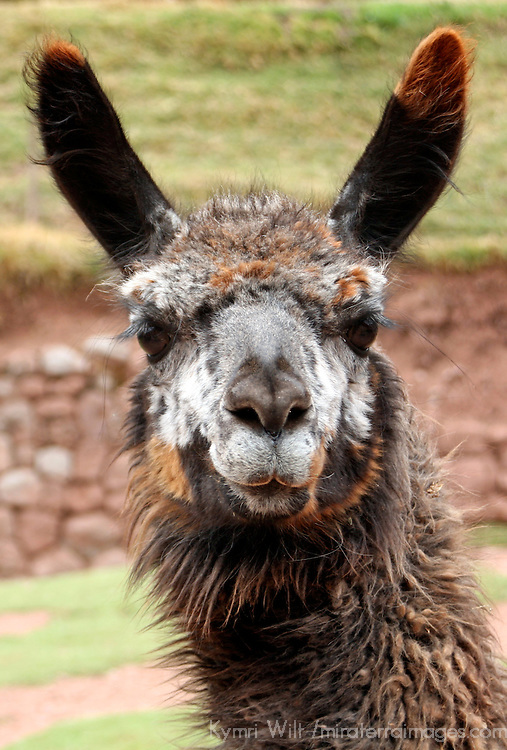 Americas, South America, Peru. Llama face from the Awana Kancha breeding center in the urubamba Valley, Peru.