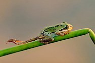Deformed pacific tree frog, Hyla regilla, Wilson State Reserve, Oregon