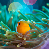False clown anemonefish, Amphiprion ocellaris, in anemone, Maumere, Flores, Indonesia.