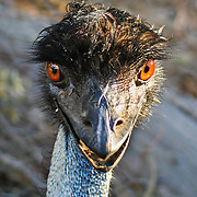 """Emu eyes glow in the sun, at Emu Park Holiday Park, in the beautiful Wartook Valley, in the Northern Grampians region, Victoria, Australia. Published in """"Light Travel: Photography on the Go"""" book by Tom Dempsey 2009, 2010."""
