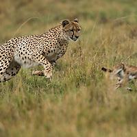 Kenya, Masai Mara Game Reserve, Cheetah (Acinonyx jubatus) chases after Thomson's Gazelle (Eudorcas thomsonii) calf during hunt
