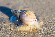 Ploughshare Snail searching for food with its long probiscas at low tide, Natures Valley, Western Cape, South Africa