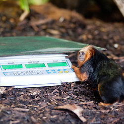 London, UK - 21 August 2013: a curious monkey gets close to a scale  during the ZSL London Zoo's annual animal weigh-in. From big cats to tiny frogs, keepers spend hours each year recording every animal's vital statistics, enabling them to keep a close check on their overall well-being
