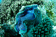siphon opening of giant clam, Tridacna sp  (mollusk bivalve), contrary to popular myth, it is harmless to humans.Great Barrier Reef, Australia, Pacific Ocean