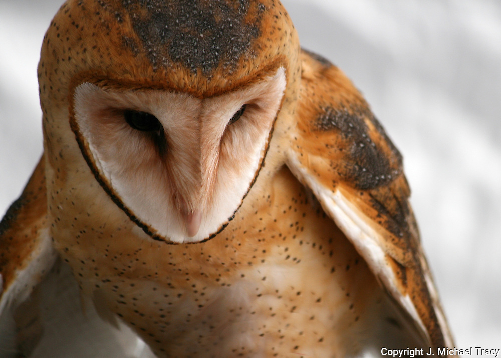 A Barn Owl, watching the hay for an unwary mouse to appear.