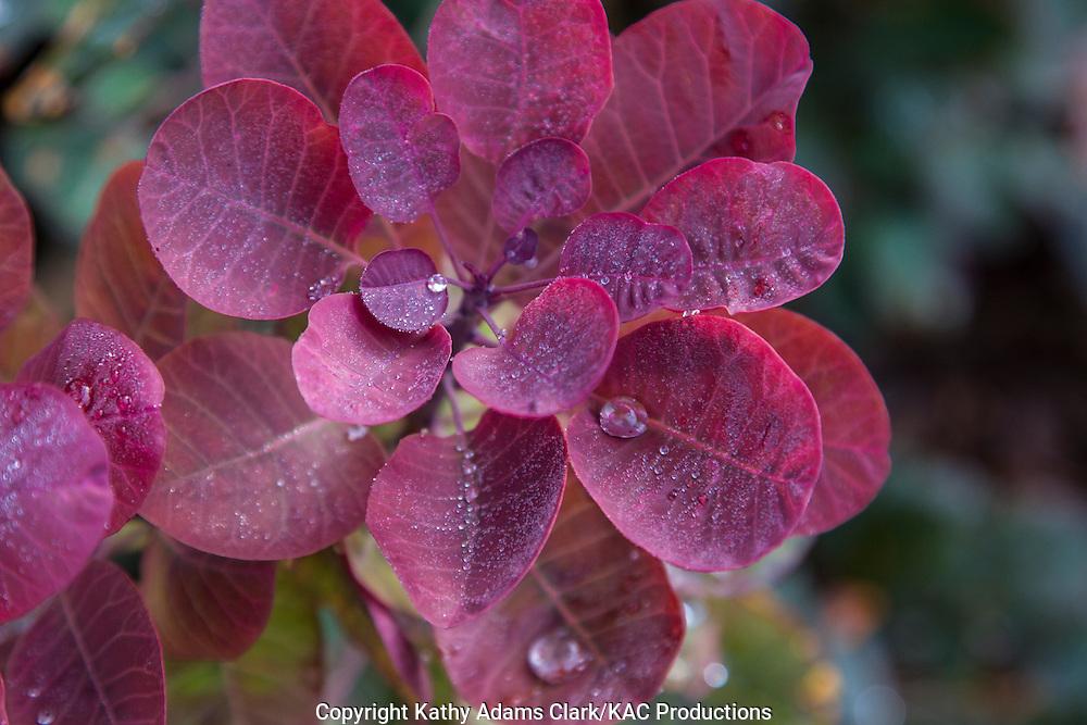 Smoke tree, Smoketree, Cotinus coggygria, Marathon; Texas; west Texas, drought tolerant