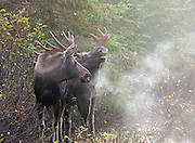 Alaska; Bull moose(Alces alces) flehming or smelling for pheromones, while next to a cow, Anchorage, Campbell Tract, BLM.