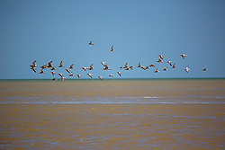 A flock of migratory shorebirds fly past the beach at Crab Creek, on Roebuck Bay in the Kimberley wet season.
