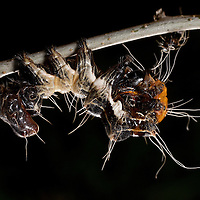 The Harris' Three-spot Moth Caterpillar (Harrisimemna trisignata) has the ability to evade predation in many different ways: it looks like a fresh bird-dropping, retains bits of previously shed heads (Exuviae) as a weapon against parasitic wasps and its backend perfectly resembles a spider's face.