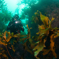 Diver in kelp forest, Liancourt Rocks (Dokdo), South Korea.