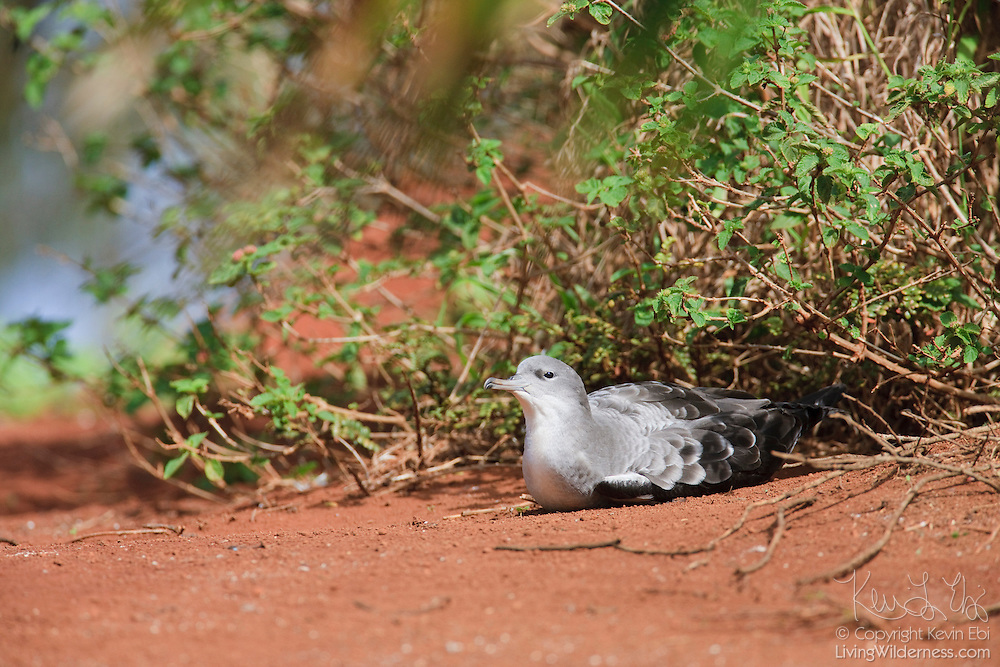A wedge-tailed shearwater (Puffinus pacificus) rests outside its burrow in the Kilauea Point National Wildlife Refuge on Kauai, Hawaii. Wedge-tailed shearwaters, called `Ua`u Kani in Hawaiian, nest in burrows just underneat the soil's surface and lay one egg per breeding season.