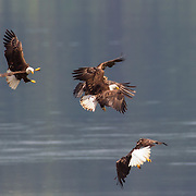 Four bald eagles (Haliaeetus leucocephalus) fight over fish over the Hood Canal, located on the Olympic Peninsula of Washington state. Bald eagles congregate in the area near the town of Seabeck early each summer to feast on migrating midshipman fish that get trapped in oyster beds during low tides.