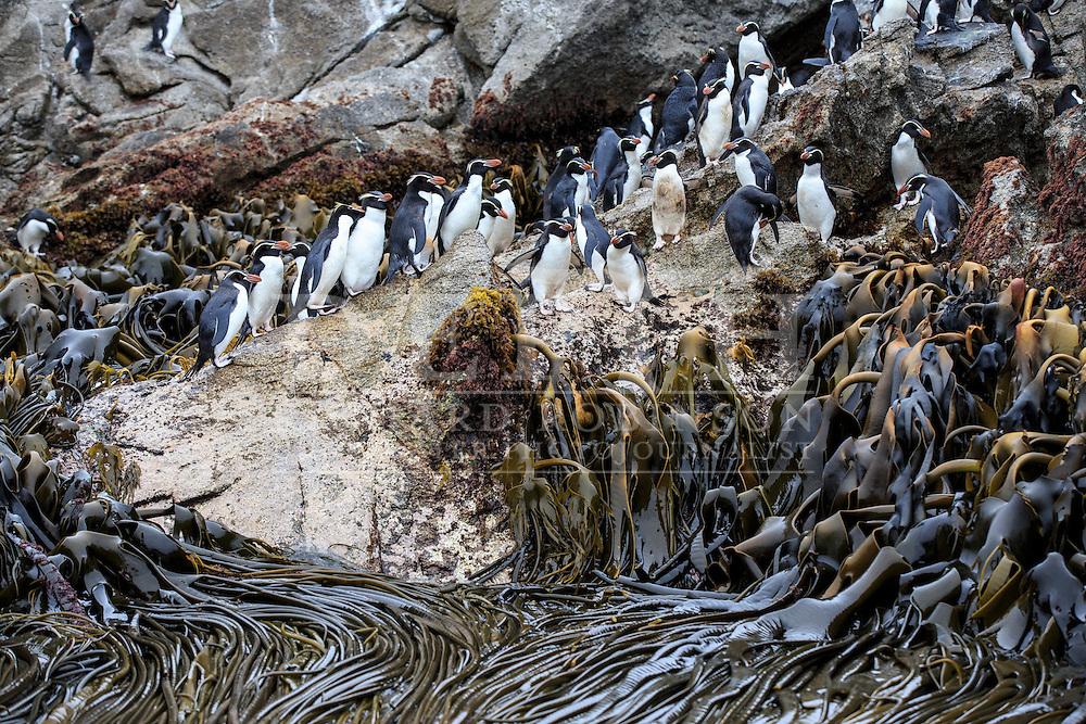Eudyptes robustus (Snares Crested Penguin) at the Subantarctic Snares Islands, New Zealand.<br /> Photograph Richard Robinson &copy; 2016