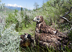 NEWS&GUIDE PHOTO / PRICE CHAMBERS.Two baby red-tailed hawks relocated by Jason Jones of the Teton Raptor Center, take in their new surroundings near Spring Gulch Road on Monday. Jones hopes a nearby pair of adult hawks will take the young birds under their wings.