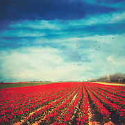Tulip fileds in bloom near Neuss / Germany; texturized photograph