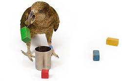 [captive] The Kea (Nestor notabilis) is presented with different objects for examination. Keas are very curious animals and like to explore new things. They are kept in an outdoor aviary (250 m2) at the Kea Lab of the Messerli Research Institute. Researchers can cut off certain areas of the aviary in a way that they are only accessible for single animals. The picture was taken in cooperation with the University of Vienna (UniVie) and University of Veterinary Medicine Vienna (VetMed). | Dem Kea oder Bergpapagei (Nestor notabilis) werden verschiedene Objekte präsentiert, die er untersucht. Keas sind sehr neugierige Tiere, für die Neues attraktiv erscheint. Im Kea Lab des Messerli Forschungsinstituts werden die Tiere in einer 520 m2 großen Außenvoliere gehalten. Forscher können für die Versuche bestimmte Bereiche abtrennen und nur für einzelne Tiere zugänglich machen. Das Bild wurde in Zusammenarbeit mit der Veterinärmedizinischen Universität Wien und der Universität Wien erstellt.