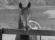 Horse Farm, Allerage Farm, Standfordville, NY