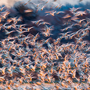 A long exposure captures the motion of a large flock of snow geese (Chen caerulescens) taking off from a field at sunset in the Skagit Valley of Washington state. Snow geese, which breed in the northern reaches of Canada, Alaska, Greenland and Sibera, winter throughout the United States and into Mexico. Tens of thousands of snow geese winter in the Skagit Valley to feed in farmers' fields.