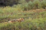 Red Fox,Vulpes, in wild Alaska