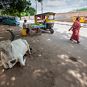 I woman in a sari walks past a bullock that is resting in the shade by the streetside in Jodhpur, Rajasthan, India.
