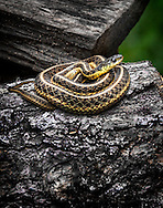 A young Garter Snake (Thamnophis Sirtalis) rests on a wood pile in Bucks County, Pennsylvania.