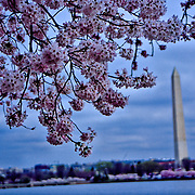 Softly lit cherry blossoms framing the Washington Monument over the Tidal Basin, Washington, DC