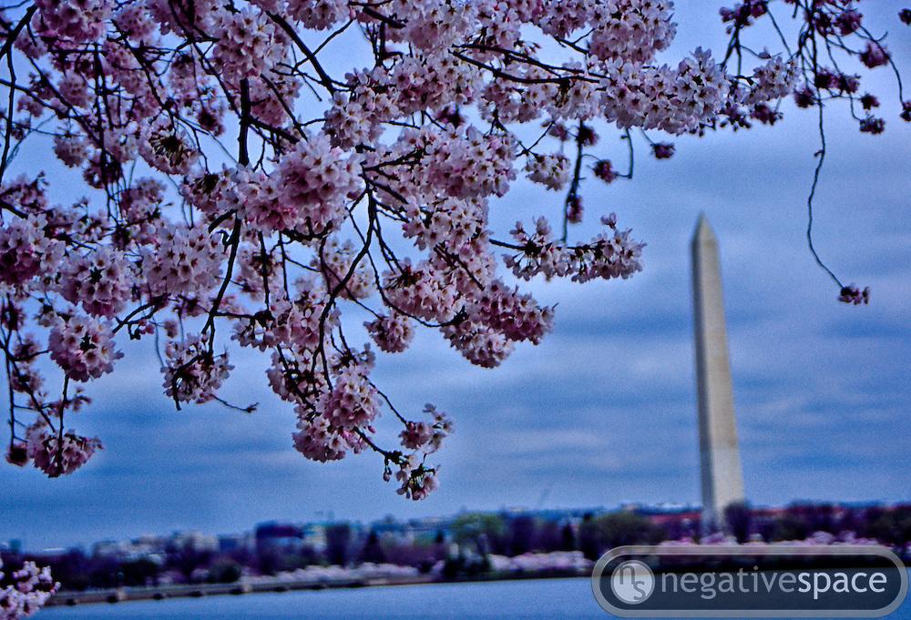 Softly lit cherry blossoms framing the Washington Monument over the Tidal Basin, Washington, DC