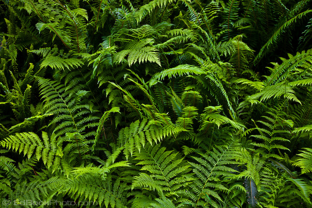 Western Sword Fern, (Polystichum munitum) and Common Bracken Fern {Pteridium aquilinum} Kitsap Peninsula, Puget Sound, Washington state, USA