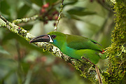 Crimson-rumped Toucanet (Aulacorhynchus haematopygus)<br /> Mindo<br /> Cloud Forest<br /> West slope of Andes<br /> ECUADOR.  South America<br /> HABITAT &amp; RANGE: Humid Andean Forests of Ecuador, Colombia &amp; Venezuela