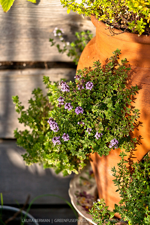 Thyme growing in a terra cotta strawberry pot.