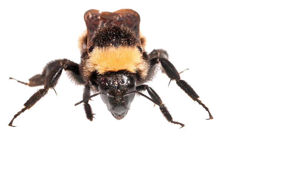 American Bumble Bee (Bombus pennsylvanicus), Pickens, South Carolina