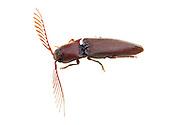 Click Beetle (Dicrepidius palmatus) - male<br /> TEXAS: Bastrop Co.<br /> Stengl &lsquo;Lost Pines&rsquo; Biological Station; 5.4 mi N of Smithville on C.R. 185<br /> 27-May-2012 <br /> J.C. Abbott #2595 &amp; K.K. Abbott