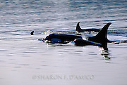Orca Family, Baby Orca Spouting