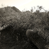 A fallen cactus along the trail at San Tan Regional Park