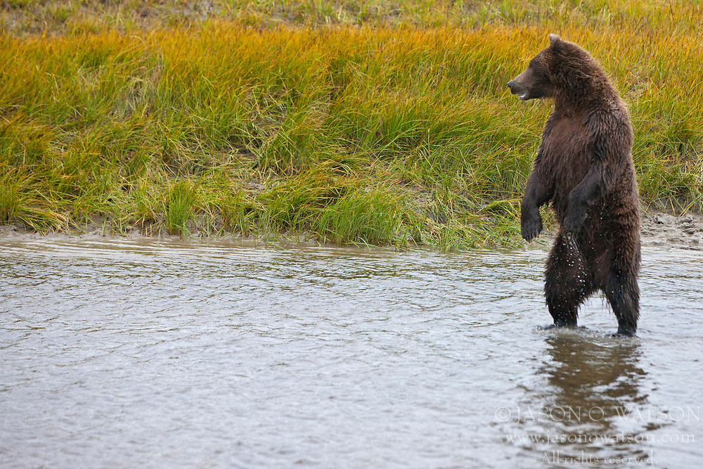 North American brown bear /  coastal grizzly bear (Ursus arctos horribilis) sow standing in a creek fishing, Lake Clark National Park, Alaska, United States of America