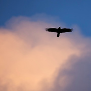 An American crow (Corvus brachyrhynchos) flies high in the sky against a billowing cumulus cloud at sunset in Bothell, Washington.