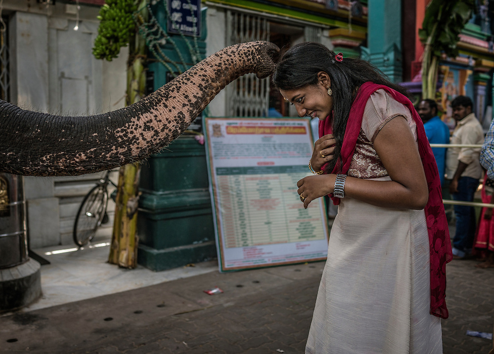 Young woman is blessed by a temple elephant, a stand in for Ganesha, during the Ganesh Chaturthi festival at Arulmigu Mankula Vinayagar Temple.  Pondicherry, India.