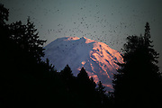 A flock of birds fly in front of Mount Rainier, illuminated at sunset and framed by trees in Seward Park.<br /> <br /> Bettina Hansen / The Seattle Times