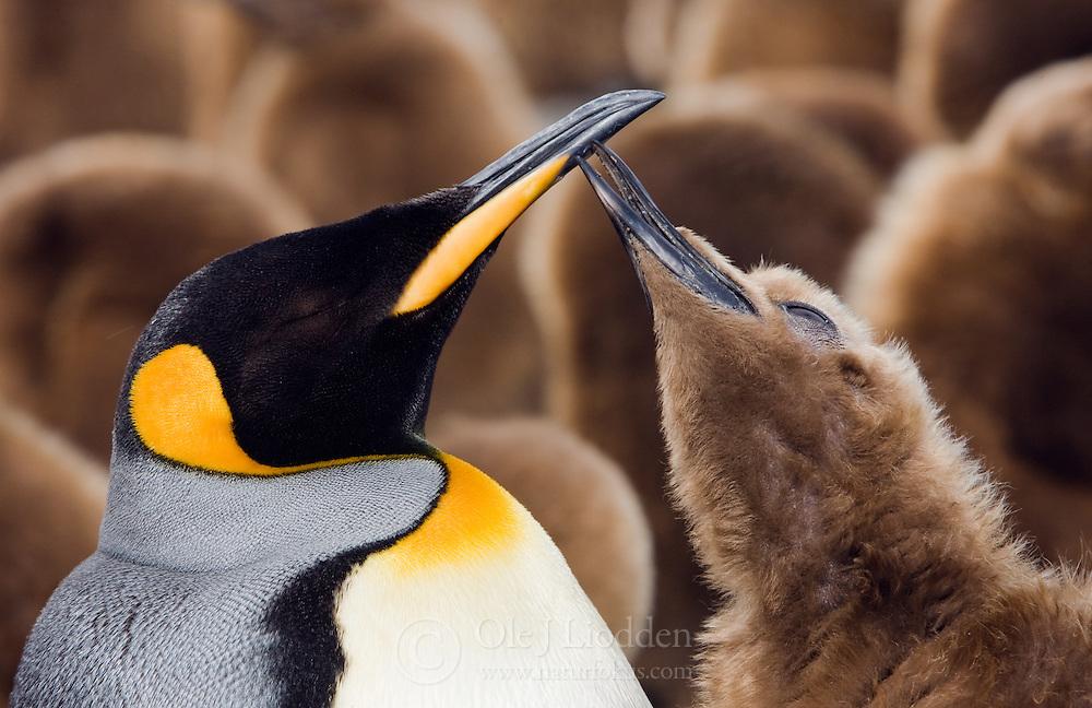 King Penguin (Aptenodytes patagonicus) feeding chick in South Georgia.