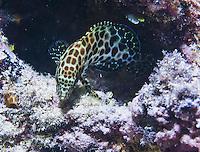 Guam Marine Life, Macro Night dive, Guam, Micronesia