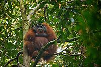 Bornean Orangutan - &quot;wurmbii&quot; subspecies<br /> (Pongo pygmaeus wurmbii)<br /> <br /> Adult male &quot;Codet&quot; sitting out heavy rain with leaf &quot;umbrella&quot;<br /> <br /> Cabang Panti Research Station<br /> Gunung Palung National Park<br /> West Kalimantan, Indonesia<br /> Borneo Island