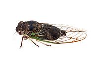 Davis' Southeastern Dog-Day Cicada (Neotibicen davisi davisi)<br /> United States: Alabama: Tuscaloosa Co.<br /> Tulip Tree Springs off Echola Rd.; Elrod<br /> 3-Sep-2016<br /> J.C. Abbott #2863
