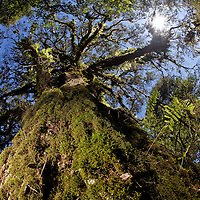 Moss-cloaked oak forest in the Sierra Gorda Reserve, Queretaro, Mexico