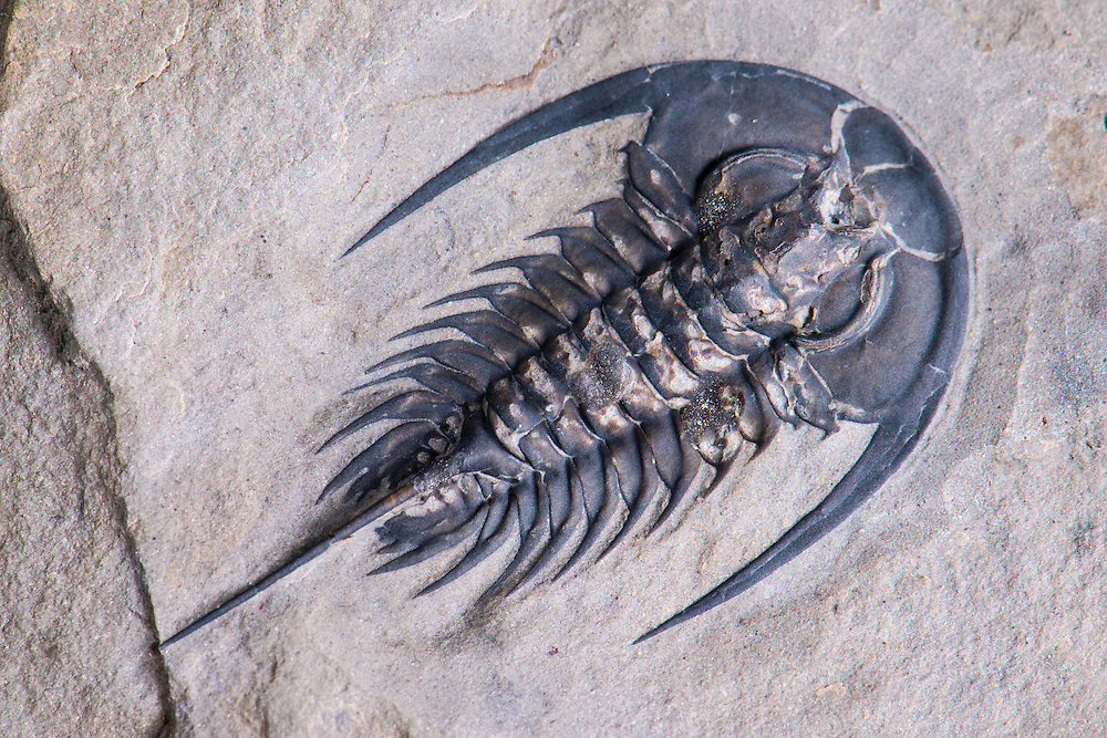 Zacanthoides marshalli (sagittal length: 23mm) is a very beautiful and highly collectible corynexochid from the Middle Cambrian Spence Formation of Utah.