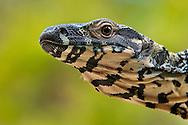 Lace goanna, Varanus varius, Australian Reptile Park, Somersby, New South Wales, Australia